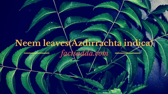 Neem leaves (Azadirachta indica)