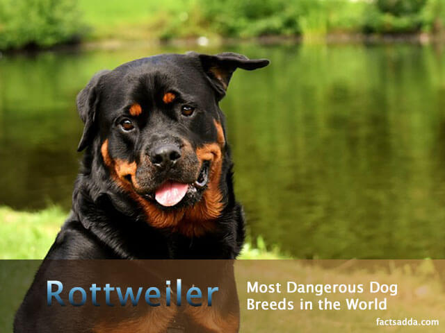 Dangerous Dog Breeds in the World
